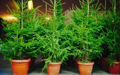 3 živé vianočné stromčeky s krásne zelenkastým ihličím