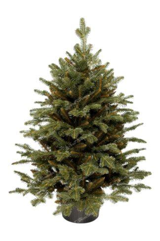 Malý vianočný stromček v kvetináči Jedľa. Stromček je osadený v peknom kvetináči.